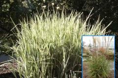 Cosomopolitan Maiden Grass