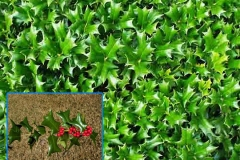 Dwarf China Holly