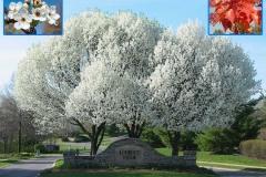 Aristocrat Flowering Pine (Deciduous)