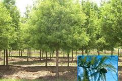 Bald Cypress (Deciduous)
