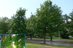 Bur Oak (Deciduous)