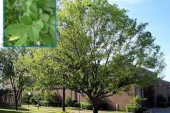 Cedar Elm (Deciduous)