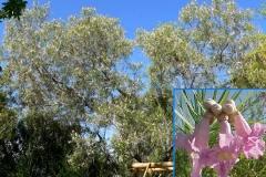 Desert Willow (Deciduous)