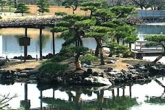 Japanese Black Pine (Evergreen)