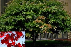 Japanese Maple (Deciduous)