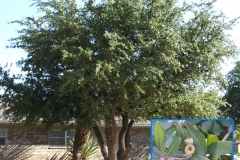 Live Oak (Evergreen)