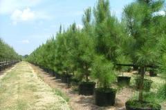 Loblolly Pine (Evergreen)