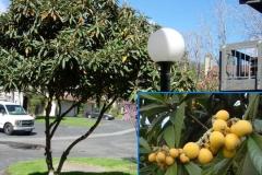 Loquat (Evergreen)