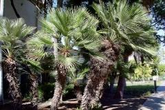 Mediterraneon Fan Palm (Evergreen)