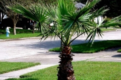 Mexican Fan Palm (Evergreen)