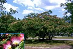 Mimosa (Deciduous)