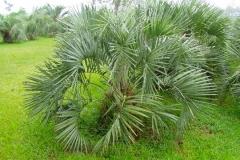 Pindo Palm (Evergreen)